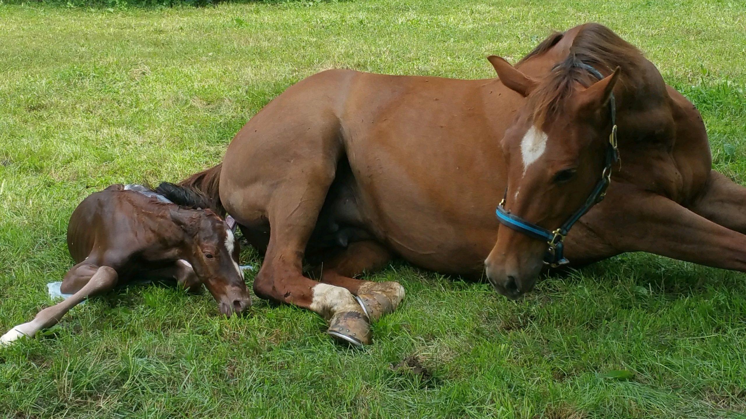 veulen veulenen merrie paard