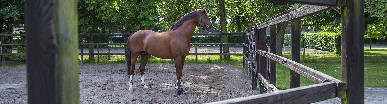 paddock paard